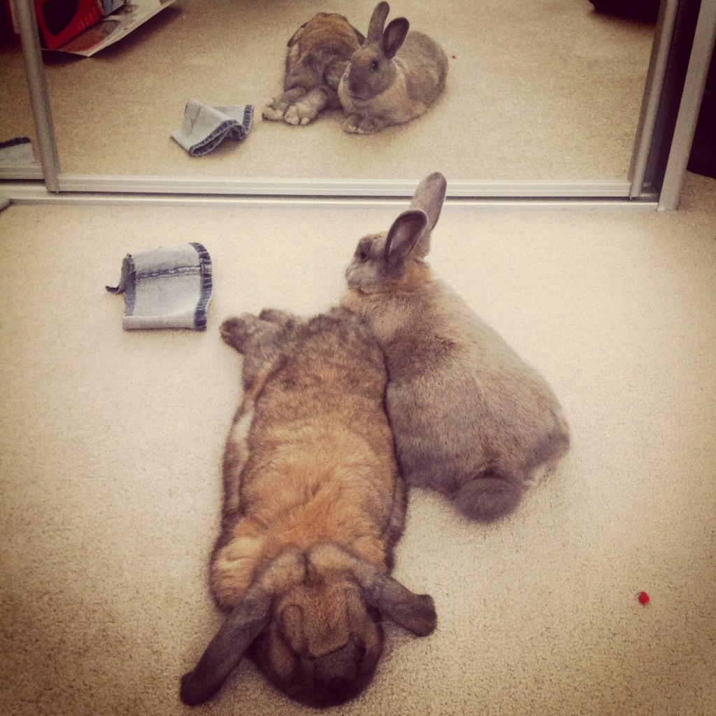 rabbits lying down in front of mirror