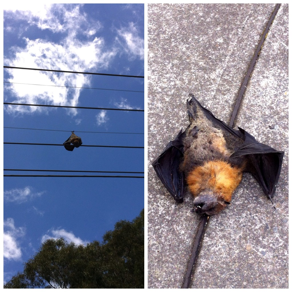 Diptych of fruit bat hanging on wire and fallen to the ground