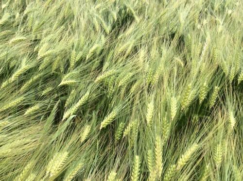 Grain01-medium