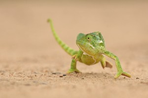 Flap-necked chameleon out for a stroll. EOS 5D with 300mm f4 lens. Click to enlarge.