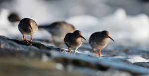 Purple Sandpipers 4