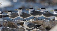 Great crested terns from the colony at Bird Island, Lambert's Bay. EOS 7D mkii with 600mm. ISO 125, f7.1, 1/800sec. Underexposed 0.7 of a stop.