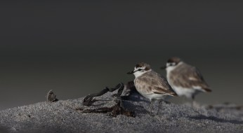 White-fronted plovers are found in very many locations. These were photographed using the EOS 7D mkii with the 600mm lens at the Hermanus river lagoon. ISO 100, f6.3, 1/800sec and underexposed 0.7 stop.