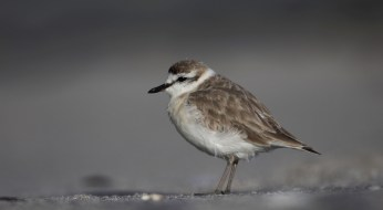 Another white-fronted plover from Hermanus.