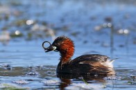 The little grebe is at home in both Europe and Africa. This one has caught a little fish that looks like what we call a lampret. EOS 7D mkii with EF 600mm