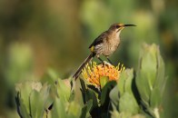 The Cape Sugarbird is endemic to the Fynbos region of the Cape provinces. It feeds on nectar from large flowers, and is an efficient pollinator. EOS 7D mkii with EF 600mm L IS USM