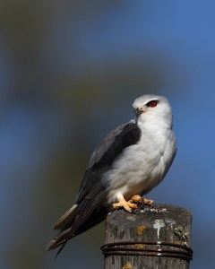 Black-shouldered kite is one of the most sought-after birds on the European continent, only present in a small population in Spain and Eastern Portugal. In parts of South Africa it is the most frequently viewed raptor, along with the steppe buzzard. This image was shot in the early evening. EOS 7D mkii with 600mm, f4.5, ISO 100, 1/2500sec. Underexposed 0.7 of a stop.