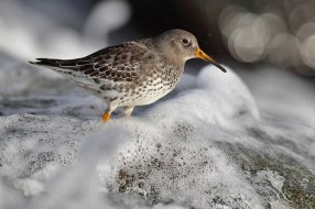 Spray, foam, sun, purple sandpiper=nice!