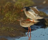 """""""...you stand still now..."""" The Redshank doing a little balancing act."""