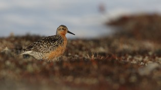 Also an endemic subspecies, the Chukotka variety of the red knot is less red than its Western cousins.