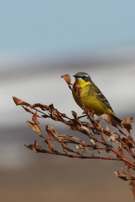 By far the most common bird in Chukotka is the yellow wagtail. The subspecies is endemic to the region.