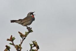 Singing ruby-throated nightingale.