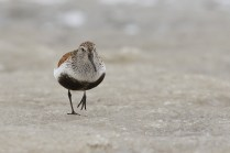 This dunlin is also an endemic subspecies. It is slightly larger, and more boldly coloured, than the varieties we see here in Denmark.