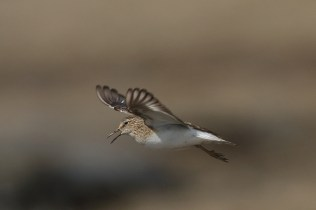 I like this temmincks stint with the tundra background.