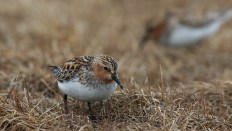 Red-necked stints look very much like spoon-billed sandpipers except for the bill. They are much less picky about their breeding habitats, and are often found at an altitude.
