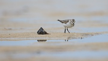 Little Stint
