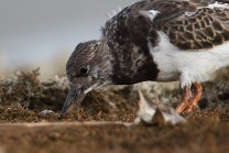 Turnstone feeding