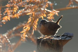 Wren against the afternoon sun