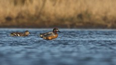 A teal snapped milliseconds after it pulls its head out of the water, with the water leaving an attractive shining coat.
