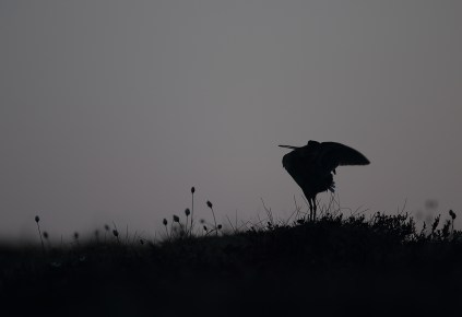 The impressive silhouette of a 140g avian powerlifter