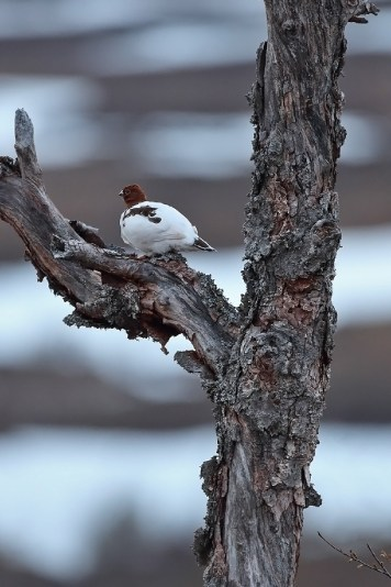 Rock ptarmigan (lagopus muta) outside of its normal perceived comfort zone.