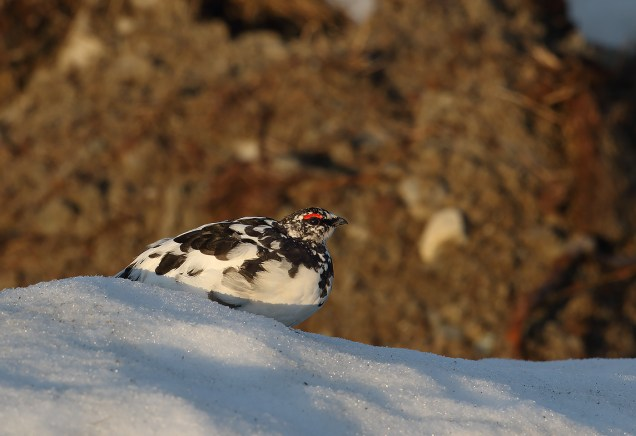 Rock ptarmigan in its 'hood - the famous Villmarksvägen, on the border between Lappland and Jämtland. Early morning (like, 0330AM) shot.