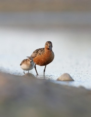 The contrast can be vegetation, another bird, or something else entirely. Here, the Little Stint (calidris minuta) is foraging together with the much larger Knot (calidris canuta), both in their finest livery.
