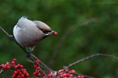 The Waxwings are mostly unfazed by human company.