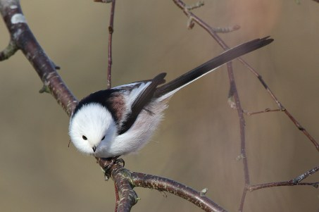 Another northern Long-tailed tit.