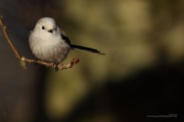 Long-tailed tit, northern ssp.