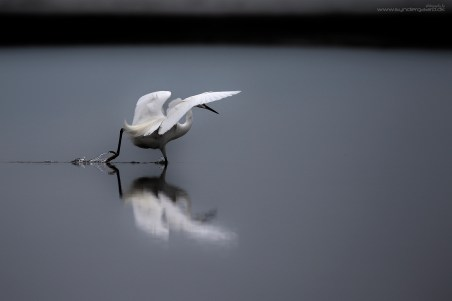 Here, the bird has spotted a small fish and is going for it.