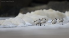 Off-white foam framing the mostly white Sanderlings.