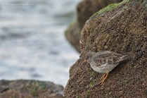The Purple Sandpipers spend their summers along rocky polar shores. I like to think that this image could almost be from there - but it was taken at the wintering grounds, on the Danish west coast