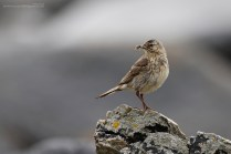 The breeding plumage, while still a fairly low-key affair, is rather more attractive than their winter clothes.