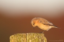 The Wheatear was photographed on the local beach a few moments before sunset. Notice how the light makes the berrybushes in the background glow!