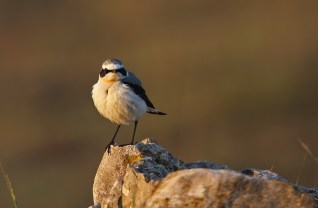 Literally seconds before the sun set, this French Wheatear finally decided to pose for a quick shot. The angle of the light is wrong (for birds - mammal shots often work better in lateral light).