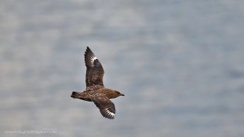 A Great skua (Stercorarius skua) from Runde, Norway. This image made it into the gallery because together with the following one it shows the difference that lighting makes quite nicely, while still having an angle and background relevance. The sea is far away but still recognisably sea, and the bird is level with the lens. EOS 7DII with EF 500mm at 1/800 f4, ISO500