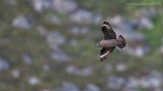 Great skua (Stercorarius skua) against a rocky slope on the breeding ground in Runde, Norway. I don't mind an unobtrusive background that will add a little information about the bird's environment to the image. EXIF a bit further back.