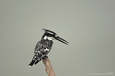 A Pied kingfisher (Ceryle rudis) from South Africa, checking out the pond surface from a favourite perch. The nearest distraction behind the bird is literally 100's of metres away, so the image takes on a studio-like quality. Great for showing the audience how a Pied kingfisher looks, but perhaps not the most engaging shot, not least due to the overcast skies. I should head back there to shoot the same bird during sunrise. Better call the travel agent. EOS 1DIII with EF 500mm, 1/3200 at f4, ISO200.