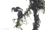 I Fulufjället Nationalpark var vi heldige at finde et par Høgeugler (Surnia Ulula) med rede i et hult træ, og tre store unger. Det gav mange fine skud!
