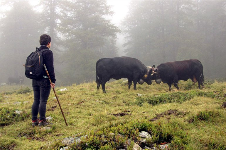 Swiss Cattle while hiking the Haute Route in France and Switzerland