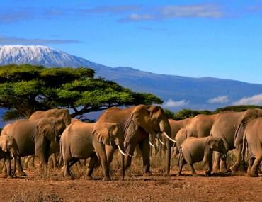 Elephants crossing a plain in front of Kilimanjaro.