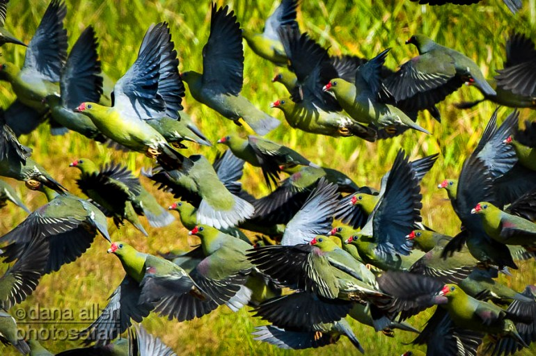 Thousands of African Green Pigeons (Treron calva) gather at Lango Bai in Odzala-Kokoua National Park in the Northern Congo.