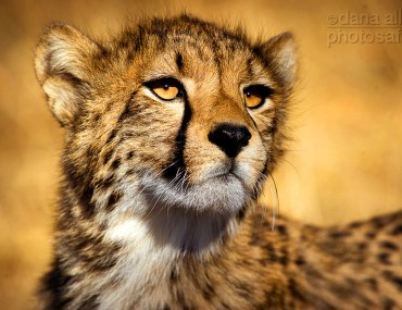 Photo of baby cheetah in Hwange National Park in Zimbabwe. Photo by Dana Allen.