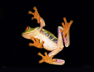 Costa Rican tree frog against a black background.
