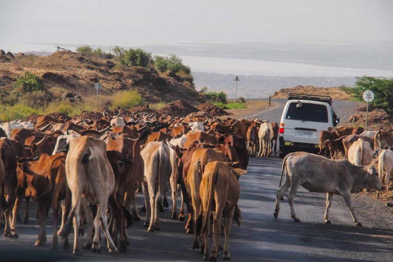cattle in road on drive to Jinka