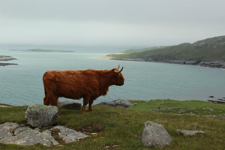 Charles-Ardary-Pax-OK-2014-0296-Scottish-beef-wondering-who-we-were-saadj
