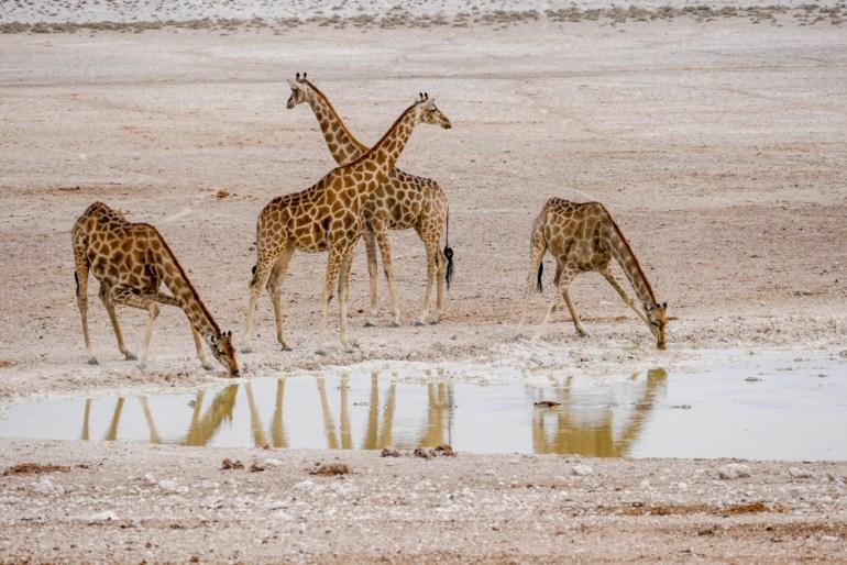Giraffe---Etosha-23