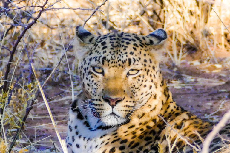 Leopard-Mother---Africat-4
