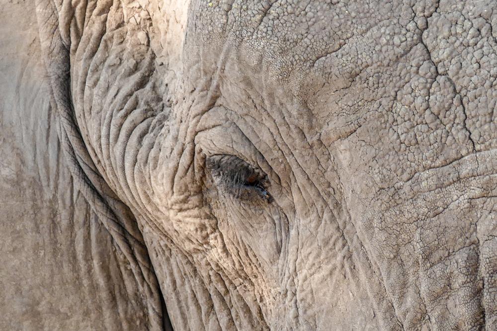 Elephant—Savuti